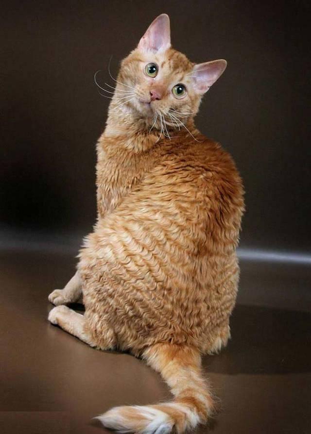 Кошка породы девон рекс: 135 фото и видео рекомендации по выбору котенка