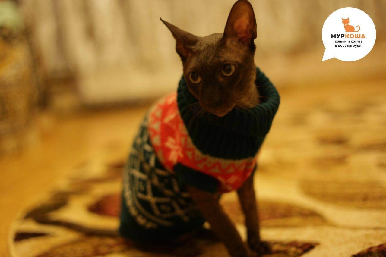 Болезни шотландских вислоухих кошек: список, симптомы