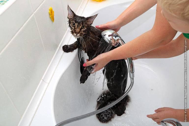 Как часто можно мыть кошку или котенка: периодичность процедуры, рекомендации и советы