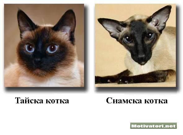 В чём сходства и отличия сиамской кошки от тайской  - mimer.ru