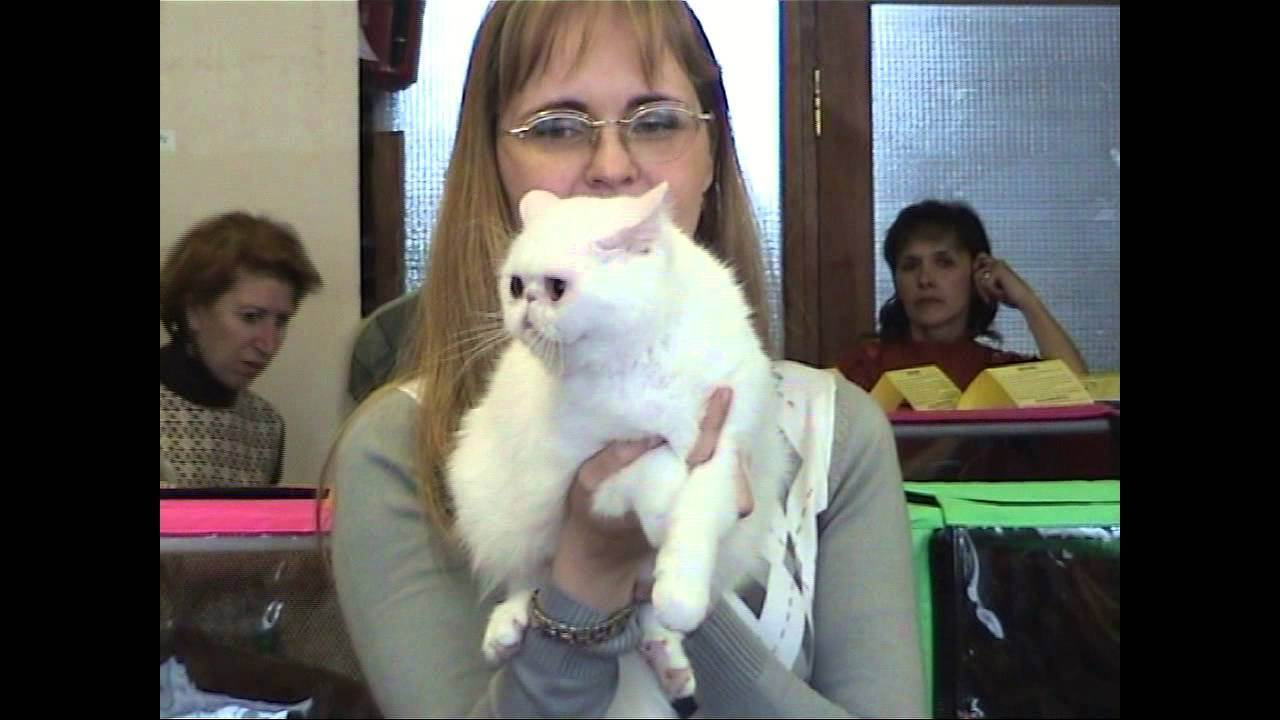 Подготовка кошки к выставке | мои домашние питомцы