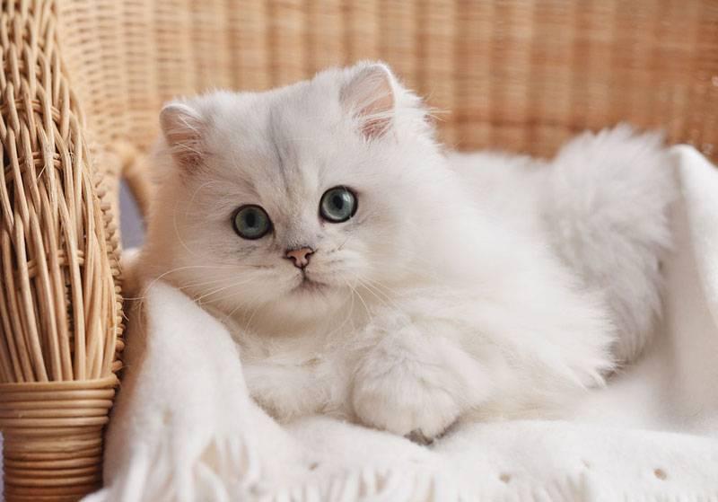Кошка шотландская шиншилла (34 фото): вислоухие котята породы скоттиш-фолд золотого, серебристого и других окрасов. характер шиншилловых шотландцев