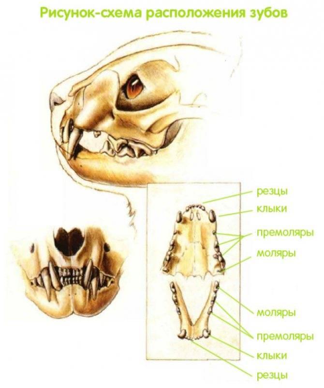 Сколько зубов у взрослой кошки | постоянных в норме, количество, у кота