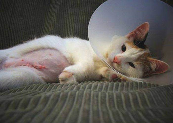 Уход за кошкой, после стерилизации