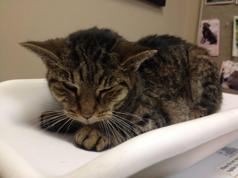 Эпилепсия у кошек, лечение: как прекратить приступы и помочь питомцу в домашних условиях?