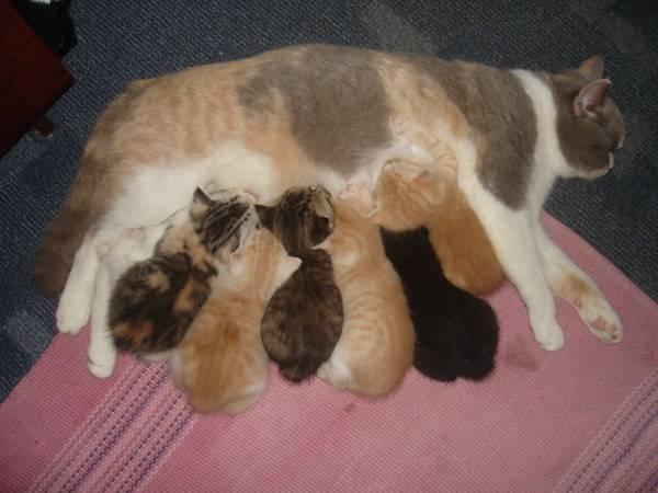 Кошка хочет кота: как успокоить в домашних условиях, сколько длится течка, помогут ли капли?