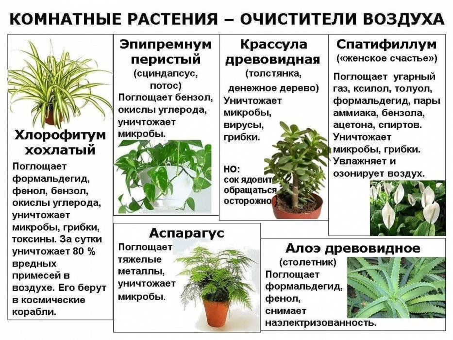 Какие комнатные растения опасны для кошек, ядовита ли драцена, спатифиллум или фикус?