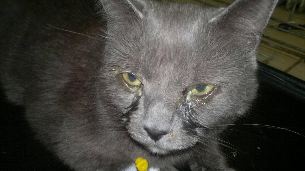 Вирусные болезни кошек: инфекции у взрослых животных и котят, симптомы и лечение кошачьих заболеваний