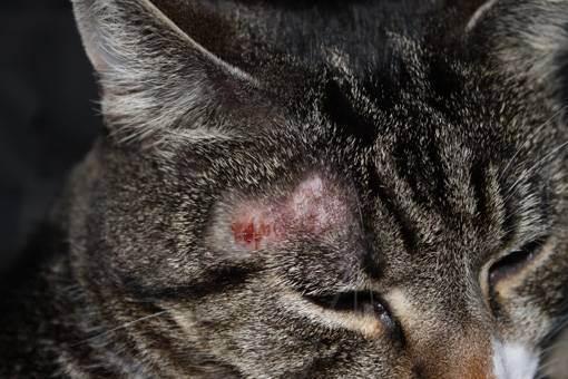 Как выглядит стригущий лишай у кошек?