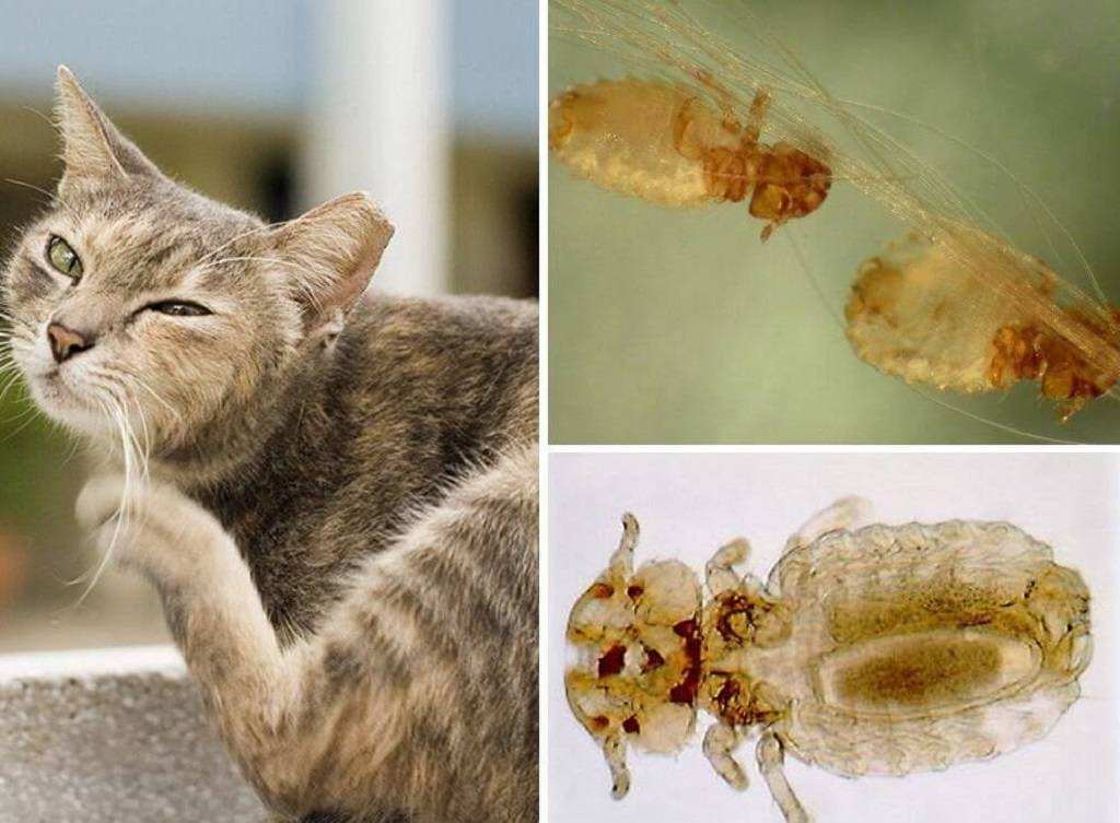Как вывести блох у кошки народными средствами