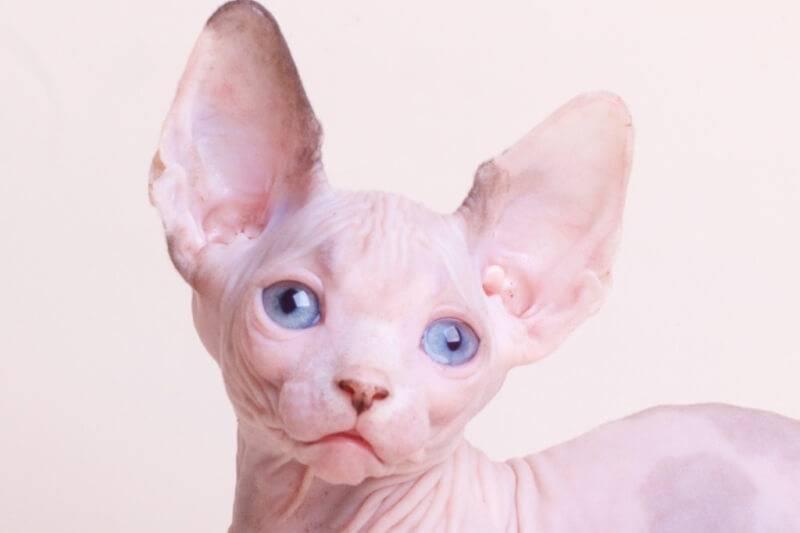 Кошка бамбино: описание породы, характер, содержание и уход, цена, фото