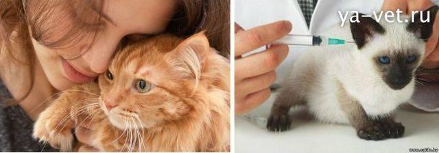 Лейкоз у кошек и котов: симптомы и лечение | вирусный, сколько живут