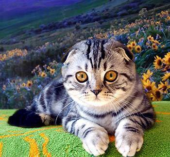Шотландская кошка золотого окраса (14 фото): особенности окраса, характеристика породы, особенности ухода за взрослыми кошками и котятами