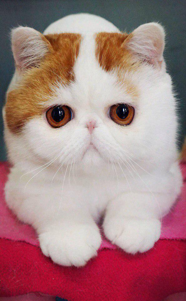Кошки с приплюснутой мордой: описание пород котов с большими глазами и плоской мордой