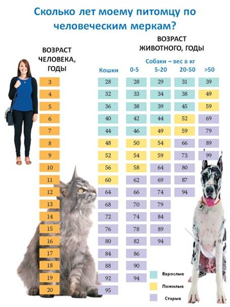 Возраст кошки по человеческим меркам: таблица, как посчитать в уме и калькулятор