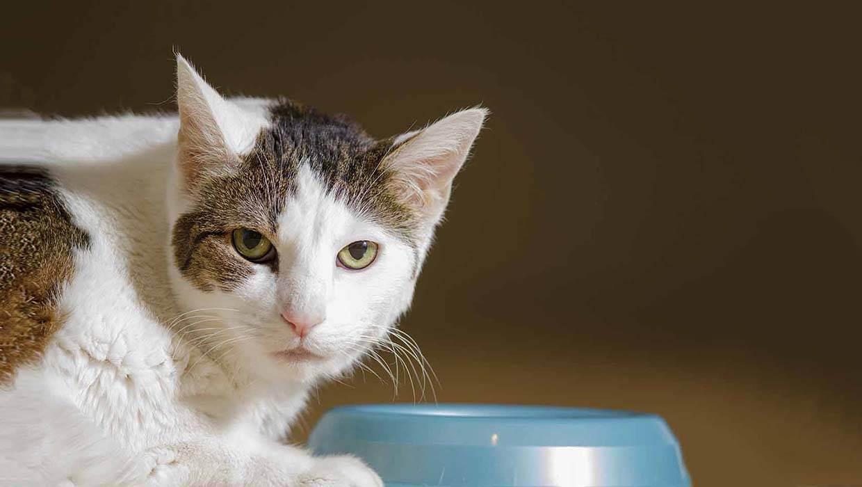 Кот орет после еды причины. что делать, если кошка мяукает и орет. реакция на неадекватное поведение хозяина