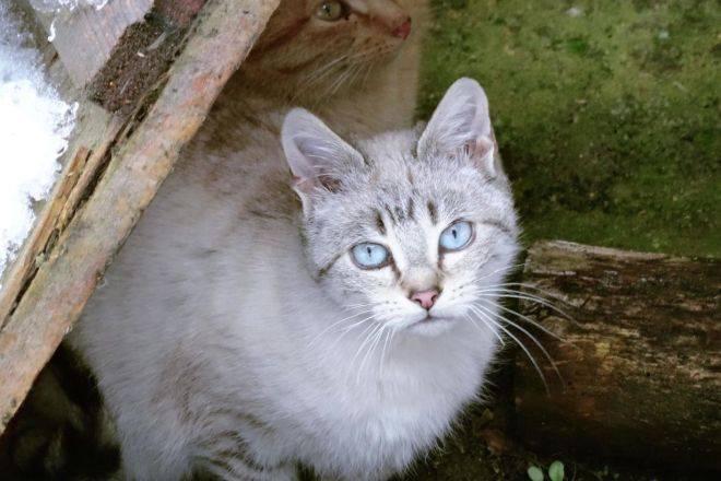 Охос азулес: описание породы, характер кошки, советы по содержанию и уходу, фото