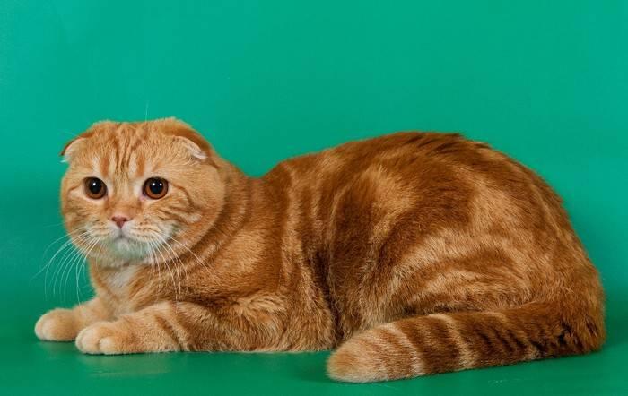 Сколько живут шотландские вислоухие кошки их болезни и способы лечения