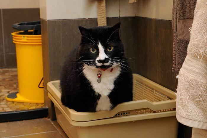 Приучаем котенка к лотку без наполнителя
