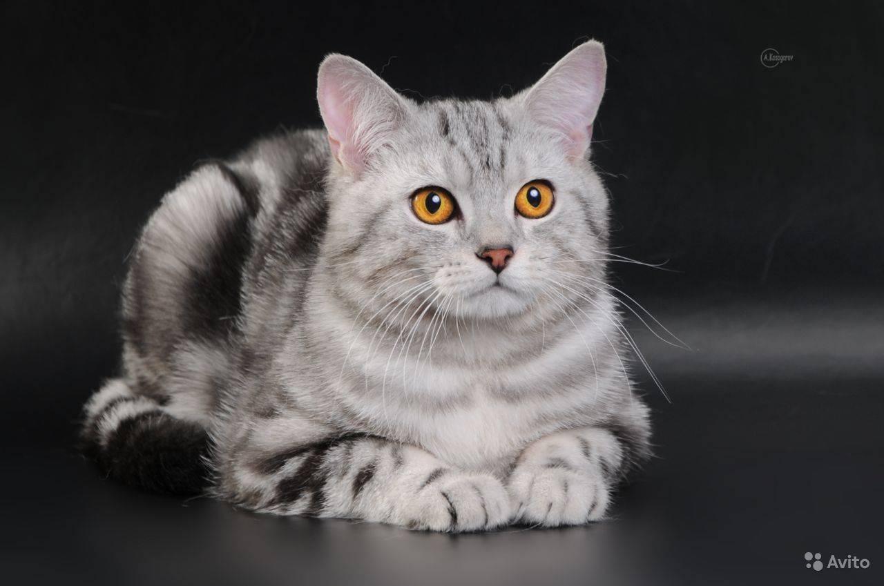 Породистые кошки окраса вискас