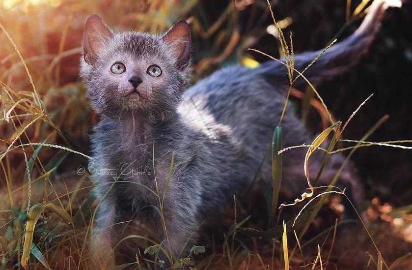 Кошка ликой или кот оборотень: описание новой популярной породы