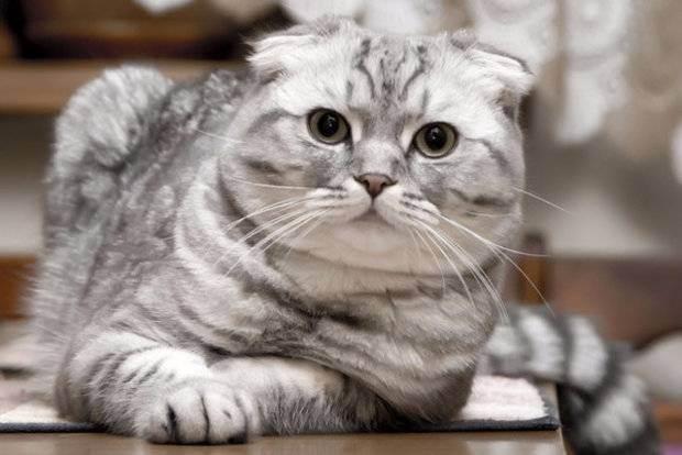 Описание и содержание шотландской вислоухой породы кошек