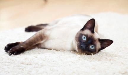 Описание породы сиамская кошка