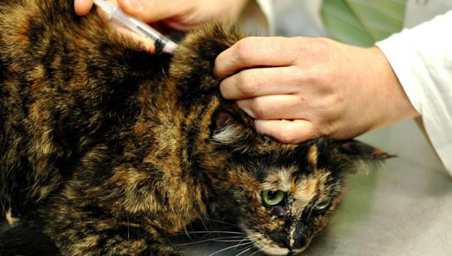 Вакцинация кошек против чумки