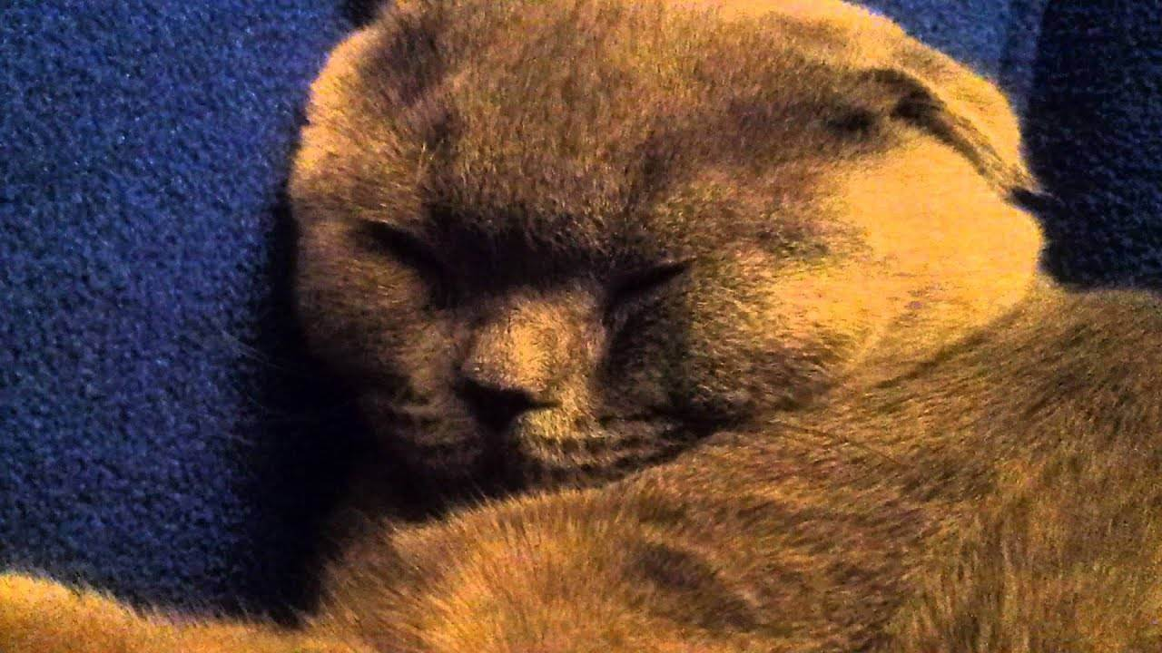Кошка храпит во сне причины. почему кот или кошка сопит носом при дыхании. когда нужно показать кота ветеринару