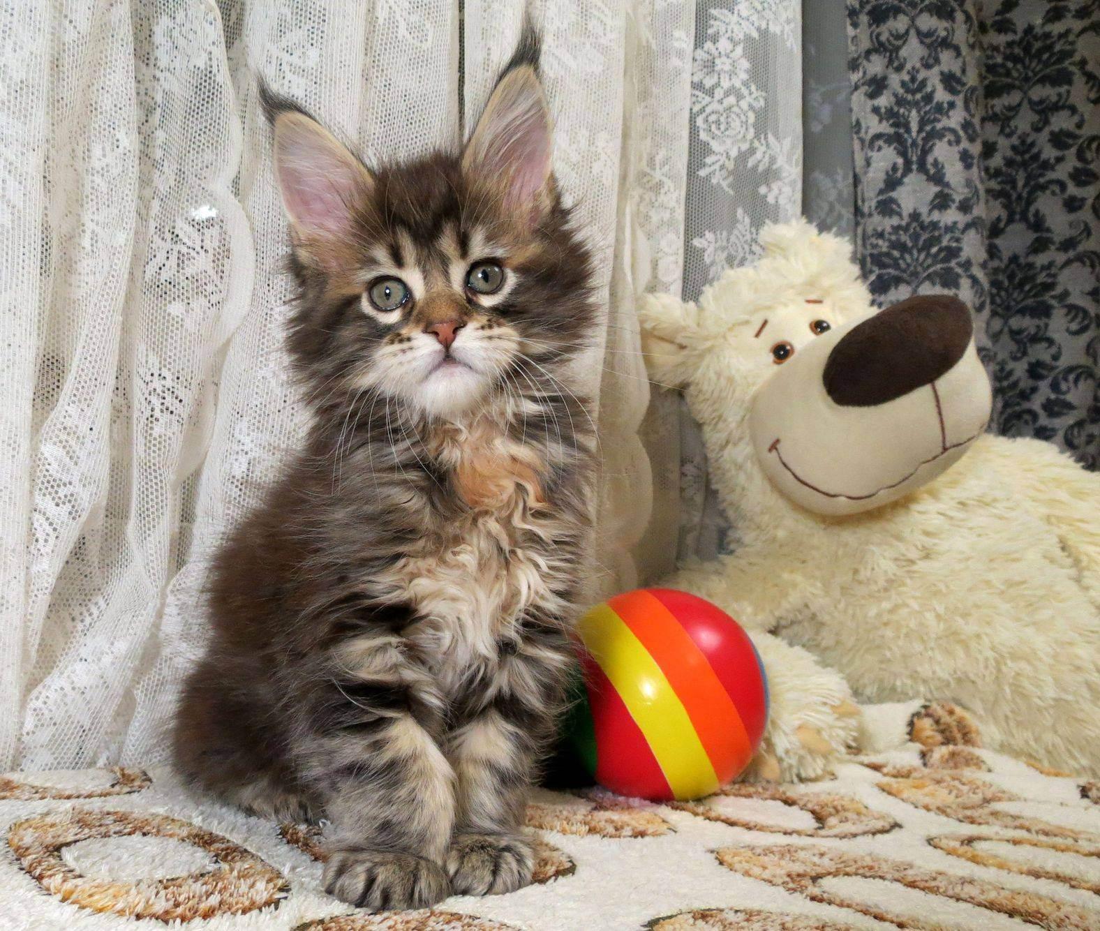 Бесплатный породистый котёнок. - запись пользователя куномать (katerina1676) в сообществе домашние животные в категории хотим завести зверушку - babyblog.ru