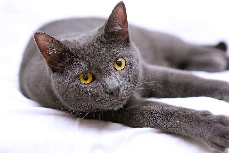 Вислоухие коты серого окраса