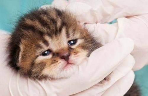 Болезнь чумка у кошек: фото, инкубационный период, последствия