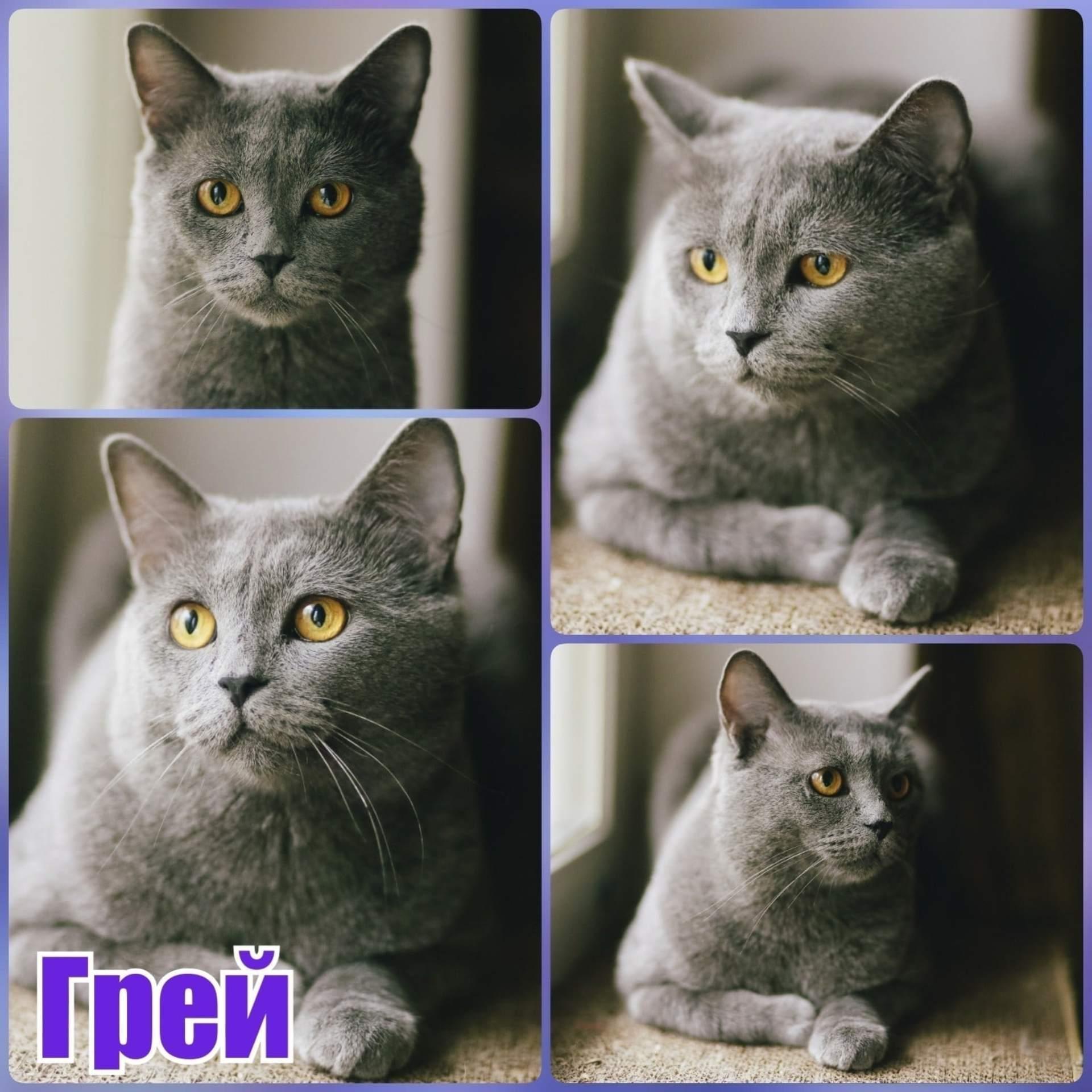 Вислоухими бывают только шотландцы или и британцы, чем британские кошки отличаются от шотландских: сравнение пород, фото