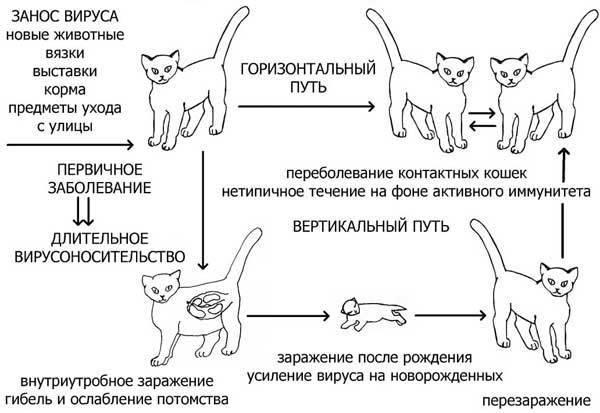 До какого возраста и как растут коты