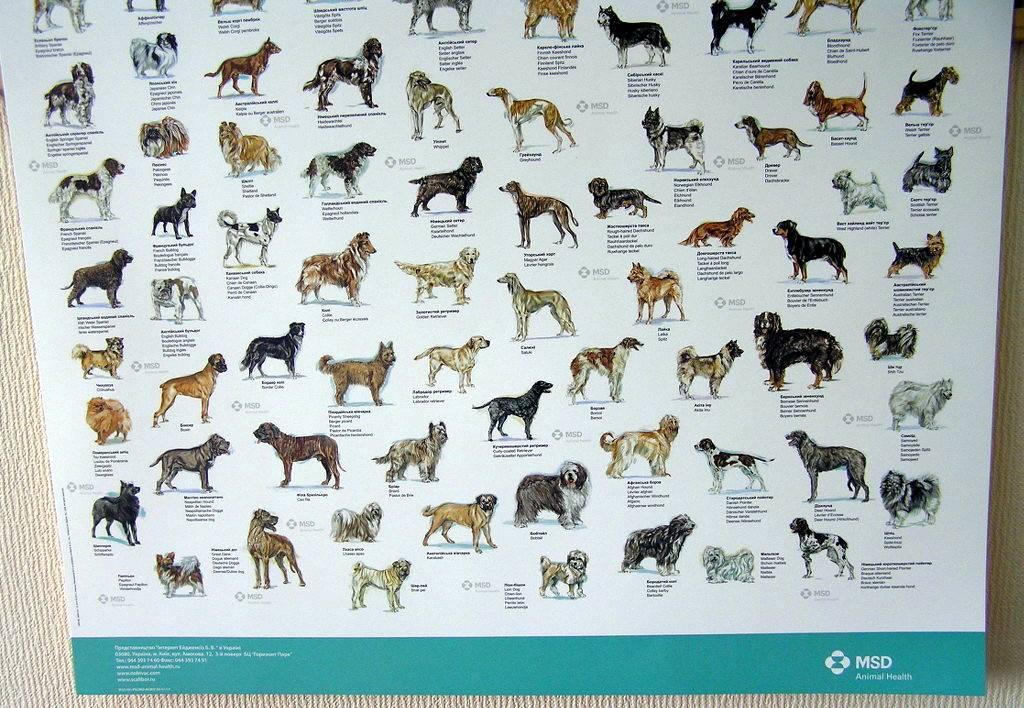 Средние породы собак. описания, особенности, названия и виды средних пород собак