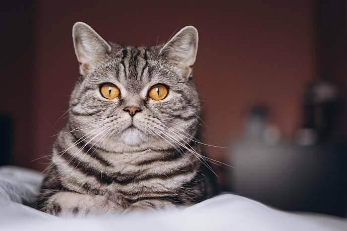Рацион питания и правила кормления британских кошек