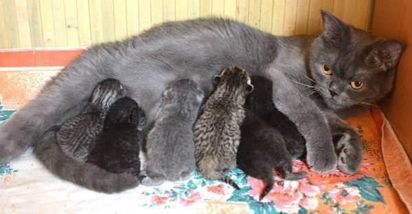 Как протекает беременность британских короткошерстных кошек | наши лучшие друзья