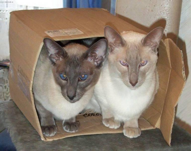 Сколько может прожить домашняя сиамская кошка и как продлить ее век?