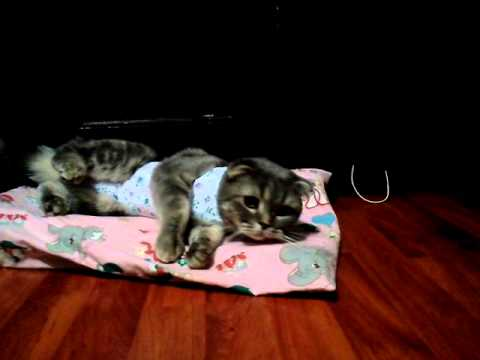 Как проходит стерилизация кошки