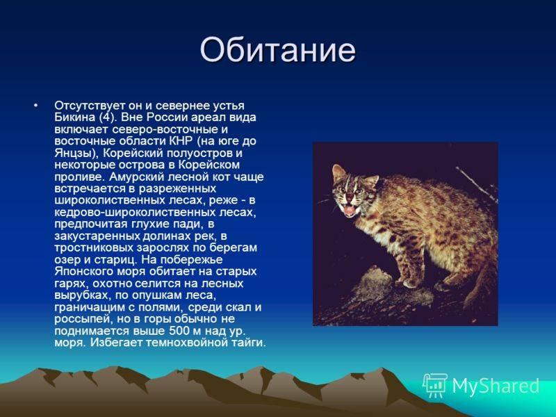 Новый вид кошки обнаружен в бразилии :: инфониак