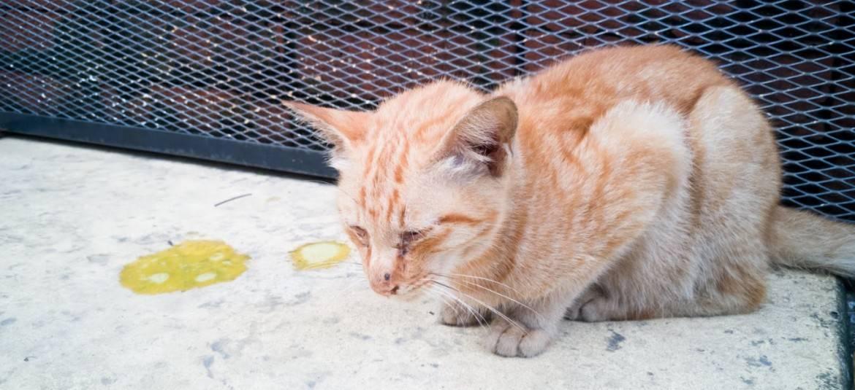 Почему кошку рвет желтой жидкостью и как оказать первую помощь, видео
