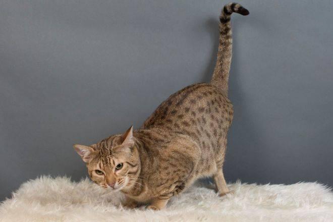 Оцикет кошка. описание, особенности, цена и уход за кошкой оцикет