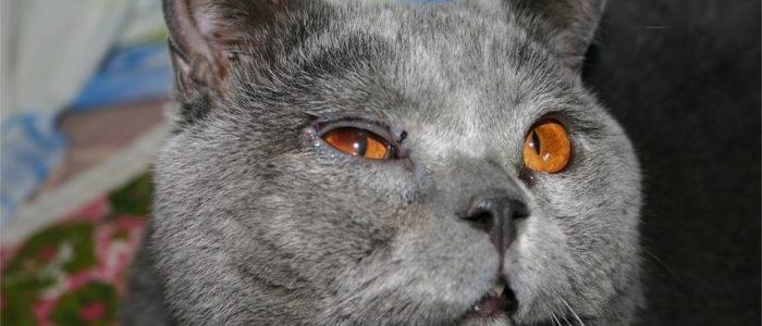 Болезни британских кошек: симптомы и лечение заболеваний, свойственных породе