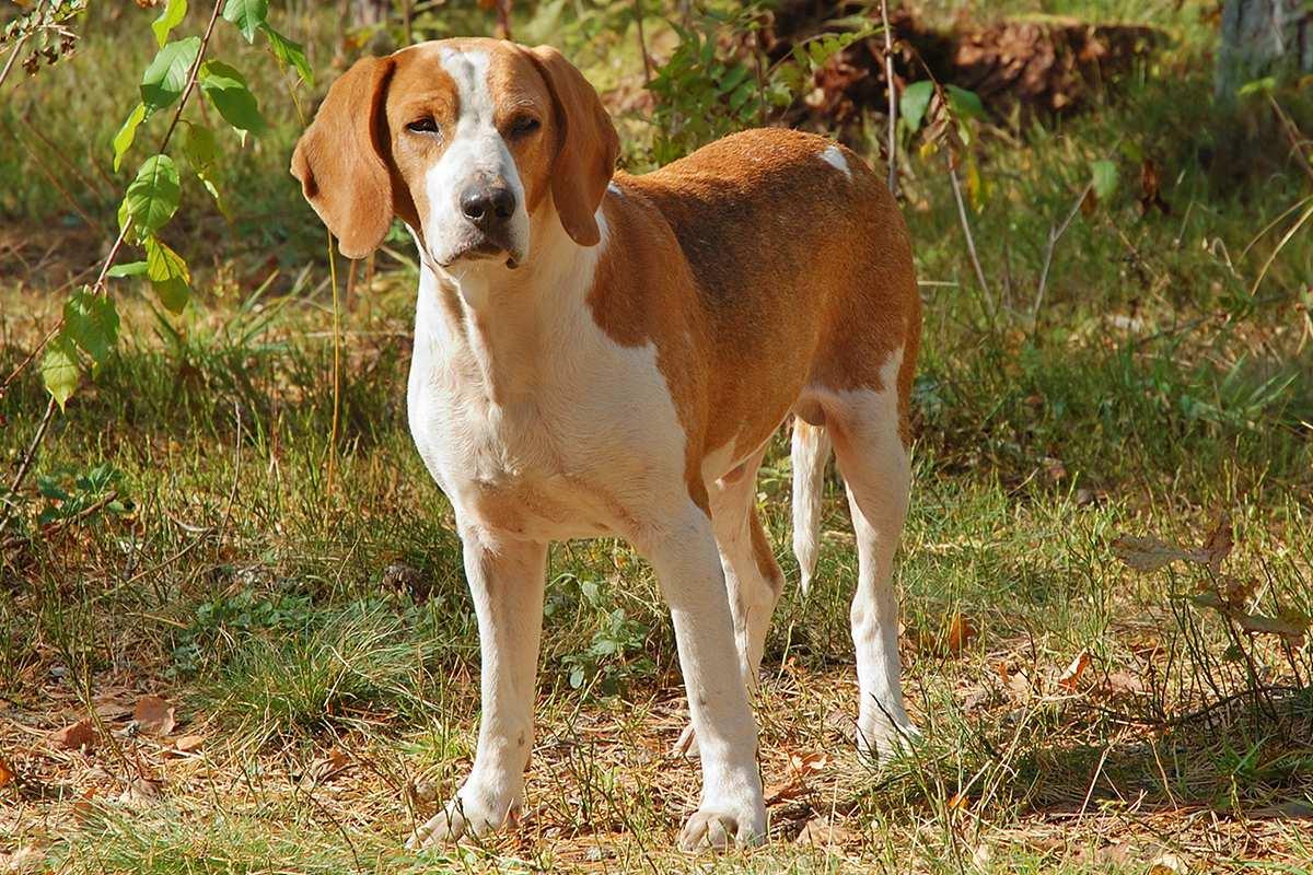 Английский фоксхаунд – энциклопедия о собаках