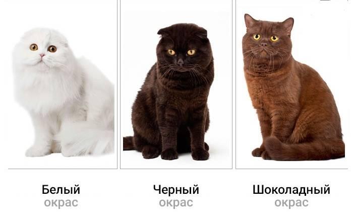 Отличия британской породы кошек от шотландской: в чём разница?