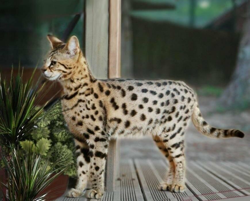 Большие кошки породы саванна