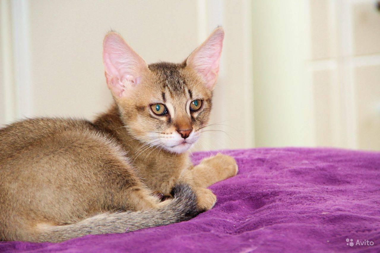 Чаузи: описание породы, характер и повадки кошки хауси, фото, выбор котенка, отзывы владельцев кота
