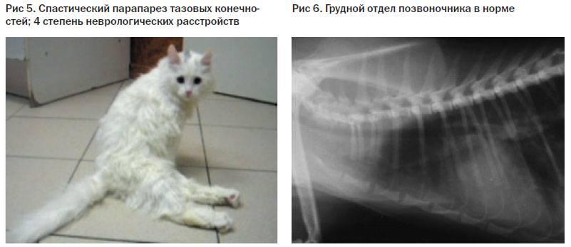 Трахеит у кошек: что такое и чем опасен, формы заболевания, первые признаки, лечение, кормление и уход за больной кошкой