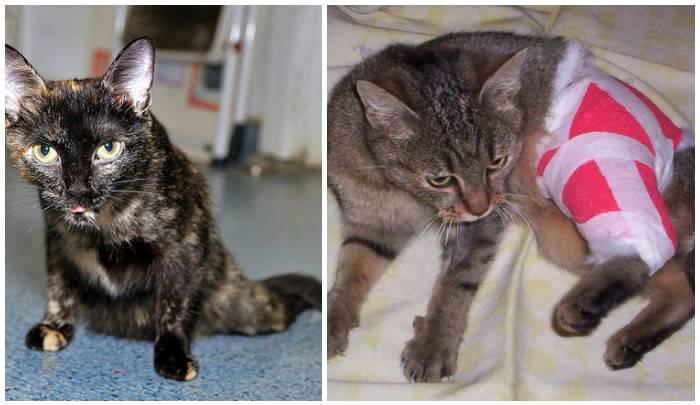 Переломы лап кошек: симптомы, что делать в домашних условиях, лечение и уход после операции