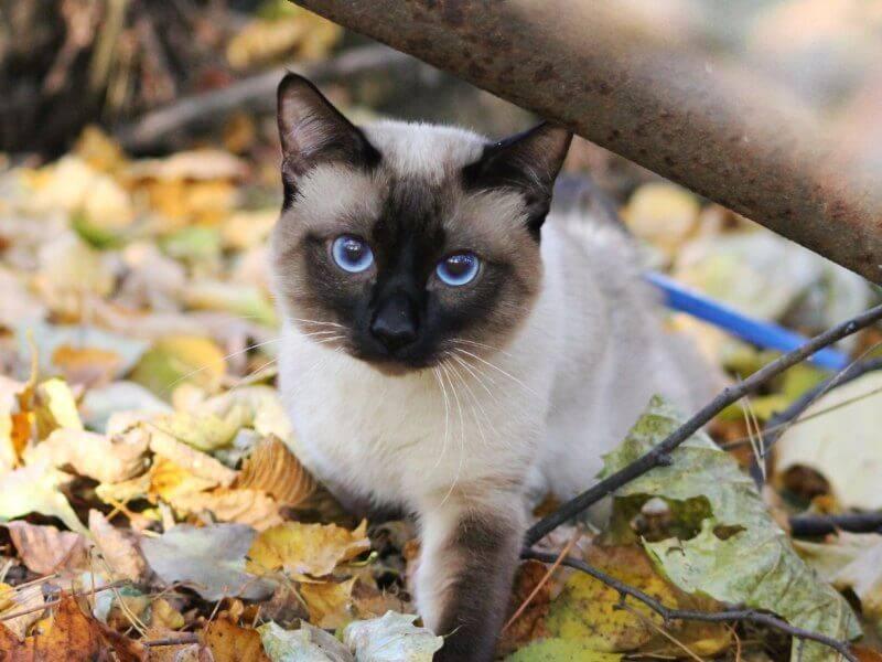 Сиамская кошка: описание породы и характеристика